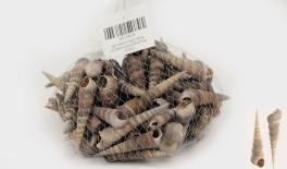 QF18A017 Natural conch decoration 0.5kg 0513018