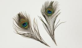 HJ971571 PEACOCK FEATHER 7x30x0CM 0621092